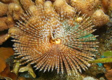 Marine worm feather duster Sabellastarte magnifica Royalty Free Stock Images