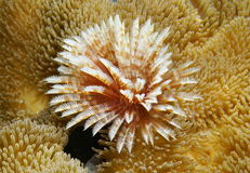 Marine worm surrounded by sea anemones Royalty Free Stock Photo