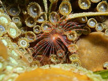 Marine worm Turbocavus secretus Caribbean sea Stock Photography