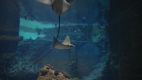 Marine zoo park, big stingrays are swimming among fish in oceanarium with undersea world in clear water stock footage