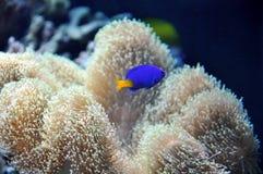 Marineaquarium mit einem blauen Fisch Stockfotografie