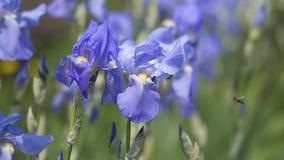 Marineblau Irisblühen Stockbild