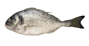 Marinefische dorado Lizenzfreies Stockbild