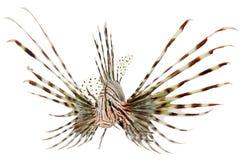 Marinefische, Löwefische getrennt auf weißem backgroun Lizenzfreie Stockfotos