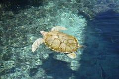 Marinelifemammals de reptiles de la vie de tortues de tortue Photographie stock libre de droits