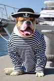 The mariner American Bulldog. American Bulldog dressed in a pirate clothing with tongue hanging out on the background of sea yacht Stock Photo
