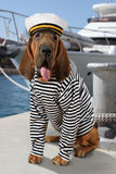 The mariner Bloodhound dog Royalty Free Stock Photography
