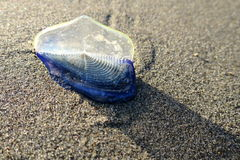 marinero Jellyfish del Por--viento Fotos de archivo libres de regalías