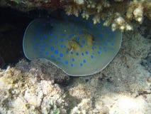 Marinerochen mit dunkelblauen Punkten in einer korallenroten Höhle Stockfotografie