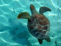 Marineschildkröte in Bora Bora Stockbild