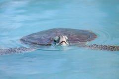 Marineschildkröteschwimmen Cayo largo im Wasser Stockbilder