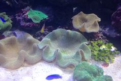 Marineteppichanemone umgeben durch das Schwimmen von Fischen in einem Aquarium stockbild