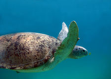 Marinetier Suppenschildkröte-fliegende Fische Stockfoto