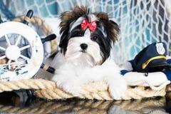 Marinheiro do terrier do cachorrinho foto de stock