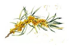 Marino spincervino Illustrazione disegnata a mano dell'acquerello Illustrazione botanica royalty illustrazione gratis