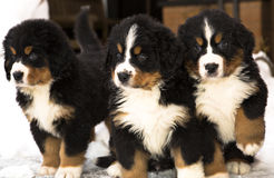 Marionetas del perro que miran seriamente después del movimiento Imagenes de archivo
