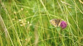 Mariposa ártica Fotos de archivo