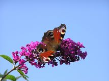 Mariposa 2 del pavo real Foto de archivo libre de regalías