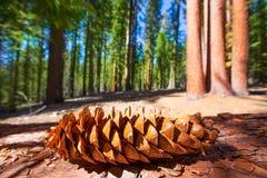 美国加州红杉杉木锥体宏指令在优胜美地Mariposa树丛里 免版税库存照片