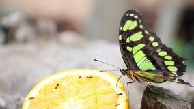 Mariposa almacen de metraje de vídeo