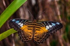 Mariposa Imagen de archivo