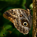 Mariposa 5627 del ojo del buho Fotografía de archivo
