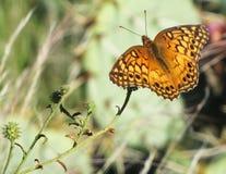 Mariposa abigarrada del Fritillary Fotos de archivo libres de regalías
