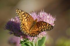 Mariposa abigarrada del Fritillary, Euptoieta claudia Foto de archivo