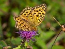 Mariposa abigarrada un perlamutrovka Imagen de archivo
