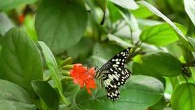 Mariposa adulta de la cal que vuela, colocándose y alimentando en las flores rojas del Cordia en un jardín almacen de video