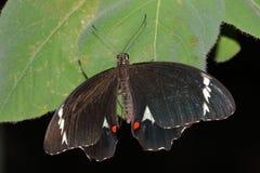 Mariposa - aegeus de la huerta Swallowtail - de Papilio fotos de archivo libres de regalías