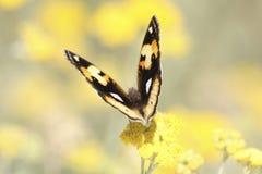 Mariposa africana Foto de archivo libre de regalías