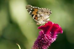 Mariposa Aglais Ichnusa de la flor de Celesia Fotos de archivo libres de regalías