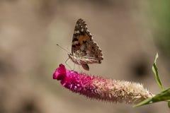 Mariposa Aglais Ichnusa de la flor de Celesia Foto de archivo libre de regalías