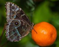 Mariposa aislada Imagen de archivo