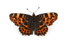 Mariposa aislada en el fondo blanco imágenes de archivo libres de regalías
