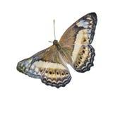 Mariposa aislada en el fondo blanco fotos de archivo