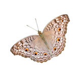 Mariposa aislada en el fondo blanco fotografía de archivo
