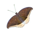 Mariposa aislada en el fondo blanco fotos de archivo libres de regalías