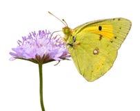 Mariposa aislada que introduce en la flor Imagenes de archivo