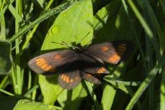 Mariposa alpina de Theano imagenes de archivo