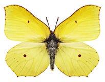 Mariposa amarilla Imágenes de archivo libres de regalías