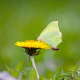 Mariposa amarilla Foto de archivo