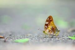 Mariposa amarilla Fotos de archivo