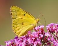 mariposa amarilla Fotografía de archivo