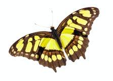 mariposa amarilla Foto de archivo libre de regalías