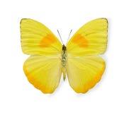 Mariposa amarilla aislada en blanco Foto de archivo