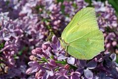 Mariposa amarilla brillante en las flores de la lila Azufre común Imagen de archivo