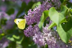 Mariposa amarilla brillante en las flores de la lila Azufre común imágenes de archivo libres de regalías