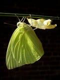 Mariposa amarilla de Leamon Imágenes de archivo libres de regalías